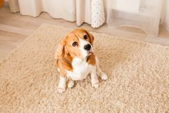 Very cute beagle. The Beagle sits on the white carpet and looks Stock Photography