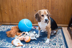 Beagle. Sitting with all his toys Royalty Free Stock Photos