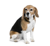 Beagle sitting in front of white background Stock Photography