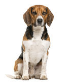 Beagle sitting Royalty Free Stock Photos