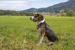 Beagle is sitting on a green meadow. A Tricolore Beagle has made himself comfortable on a green meadow royalty free stock photography