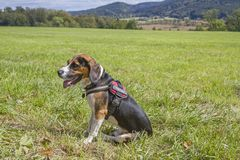 Beagle is sitting on a green meadow. A Tricolore Beagle has made himself comfortable on a green meadow stock image