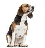 Beagle sitting, looking away, isolated Stock Images