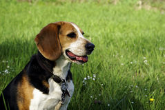 Beagle Sitting Pretty. A beagle dog sitting in a green field stock images
