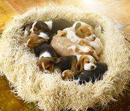 Sleeping Beagle puppies royalty free stock image
