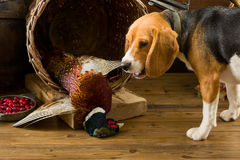 Beagle smelling pheasant. Young Beagle having a first experience as a hunting dog Stock Photos