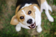 Beagle. Smile beagle with head up Stock Photography
