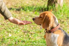 Beagle sniffing dry food for pet. Beagles are fed from the hands. On a walk royalty free stock photos