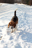 Beagle in snow Royalty Free Stock Photography