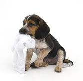 Beagle with Sock Royalty Free Stock Photography