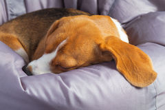 Beagle on the soft chair Royalty Free Stock Photos