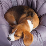 Beagle on a soft chair Stock Image