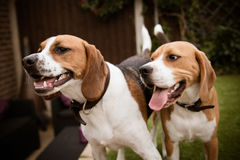 Beagle som har gyckel Arkivfoto