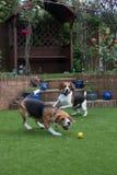 Beagle som har rolig spela fetch Fotografering för Bildbyråer