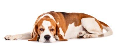 Beagle som isoleras på vit fotografering för bildbyråer