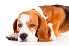 Beagle som isoleras på vit arkivfoto