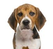 Beagle som isoleras på vit Royaltyfria Foton