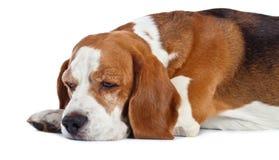 Beagle som isoleras på vit Arkivbilder