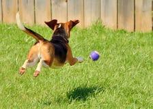 Beagle som jagar en boll Arkivbild