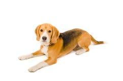 Beagle som ligger på golvet Arkivfoto