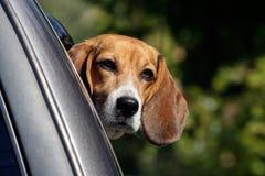 Beagle som ser från bilfönster Arkivfoton