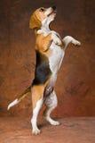 beagle som tigger hind ben Royaltyfri Fotografi