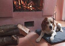 Beagle som vilar på golvet vid spisen fotografering för bildbyråer