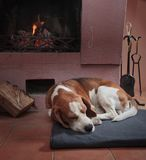 Beagle som vilar på golvet vid spisen royaltyfria foton