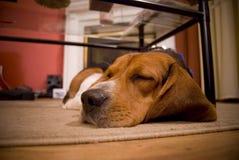 Beagle soñoliento Fotos de archivo libres de regalías