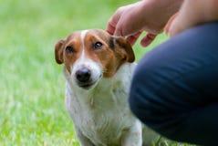 Beagle spojrzenie Obraz Stock