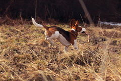 Beagle in spring forest Stock Photos