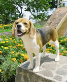 Beagle Standing Stock Photos
