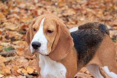 Beagle is standing in the autumn foliage. Stock Images