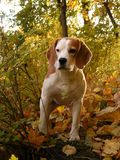 Beagle standing in autumn forest. In bushes Stock Image