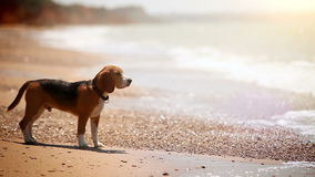 A beagle standing on the beach watchong waves come and go