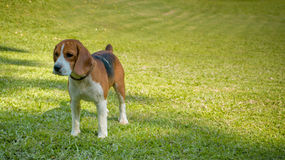 Beagle standing on grass. At the sunshineday Royalty Free Stock Photography