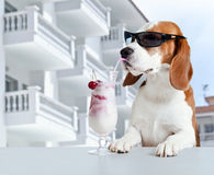 Beagle in sunglasses drink cocktail royalty free stock images