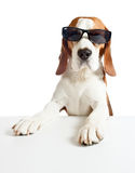 Beagle in sunglasses, isolated on white stock photos