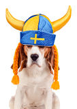 Beagle in swedish hat , isolated on white Royalty Free Stock Photos