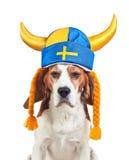 Beagle in swedish hat , isolated on white Royalty Free Stock Photo