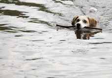 Beagle Swimming Stock Photo