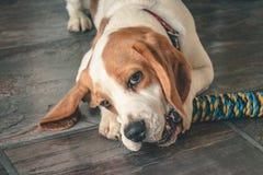 Beagle szczeniak żuć zabawkę zdjęcia royalty free