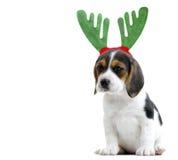 Beagle Szczeniak Zdjęcia Royalty Free