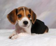 beagle szczeniak Obraz Stock