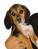 beagle szczeniak Fotografia Royalty Free