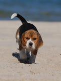 beagle szczeniak obrazy royalty free
