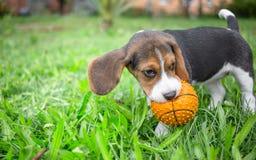 Beagle szczeniak bawić się z piłką Fotografia Royalty Free