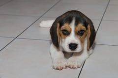 Beagle szczeniak, beagle Fotografia Stock
