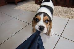 Beagle szczeniak, beagle Obraz Stock