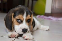 Beagle szczeniak, beagle Zdjęcie Royalty Free
